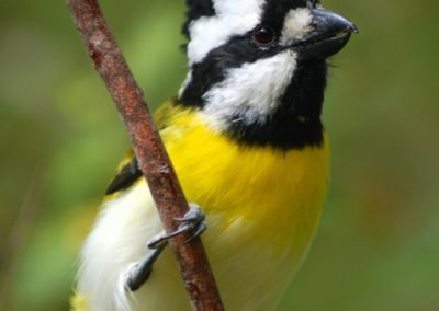 Copy of Crested Shrike-tit