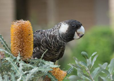 Carnaby's Cockatoo - Photo by John Andersons