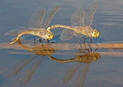 DF Hemianax papuensis pair - Photo by John Anderson