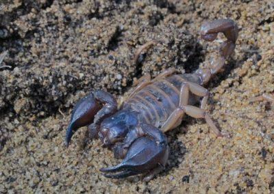 Darling Gravel Scorpion - Photo by John Anderson