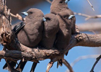Dusky Woodswallow - Photo by John Anderson