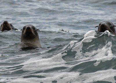 Fur seal - Photo by John Anderson