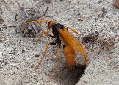 Great Orange Huntsman Wasp & Wolf Spider - Photo by John Anderson