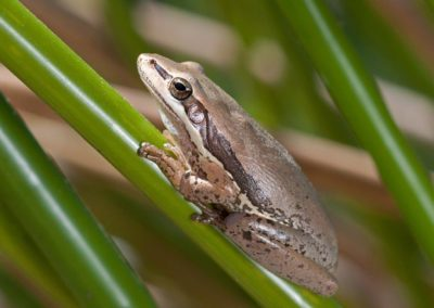 Slender Tree Frog - Photo by John Anderson