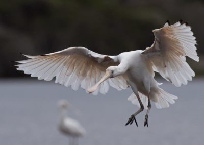 Yellow-billed Spoonbill - Photo by John Anderson